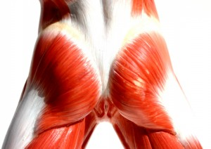 what is the Gluteus maximus 300x212