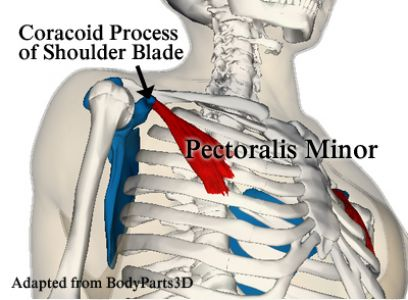 Pectoralis_minor_muscle_and_shoulder_blade