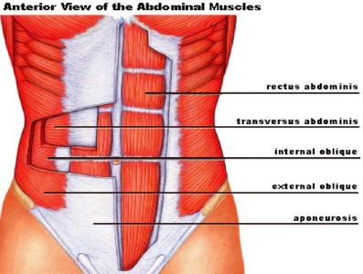 Anatomy-of-the-Abdominal-Wall